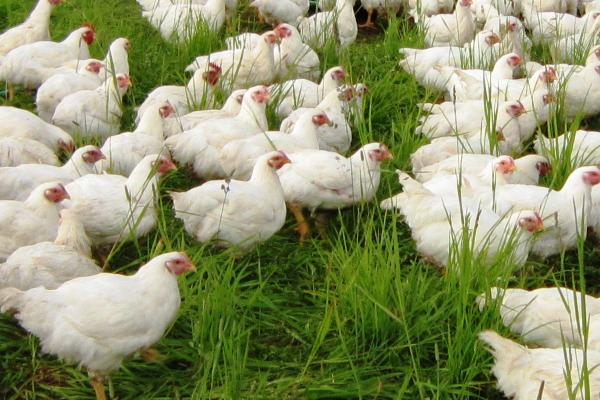 Organic-Chicken[1]