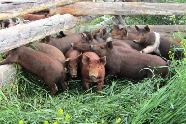 Organic-Pork[1]